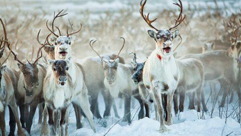 Samisk temapark öppnar i Funäsfjällen